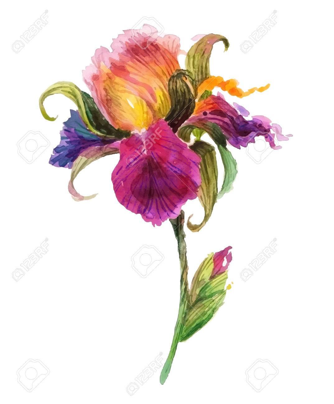 Beautiful watercolor iris flower. Watercolor floral illustration. - 42045704