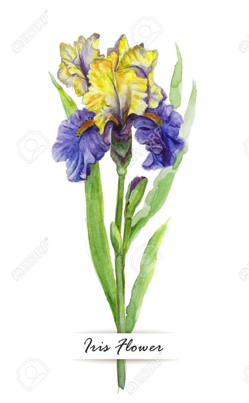 Watercolor Illustration Of Iris Flower On White Background Stock