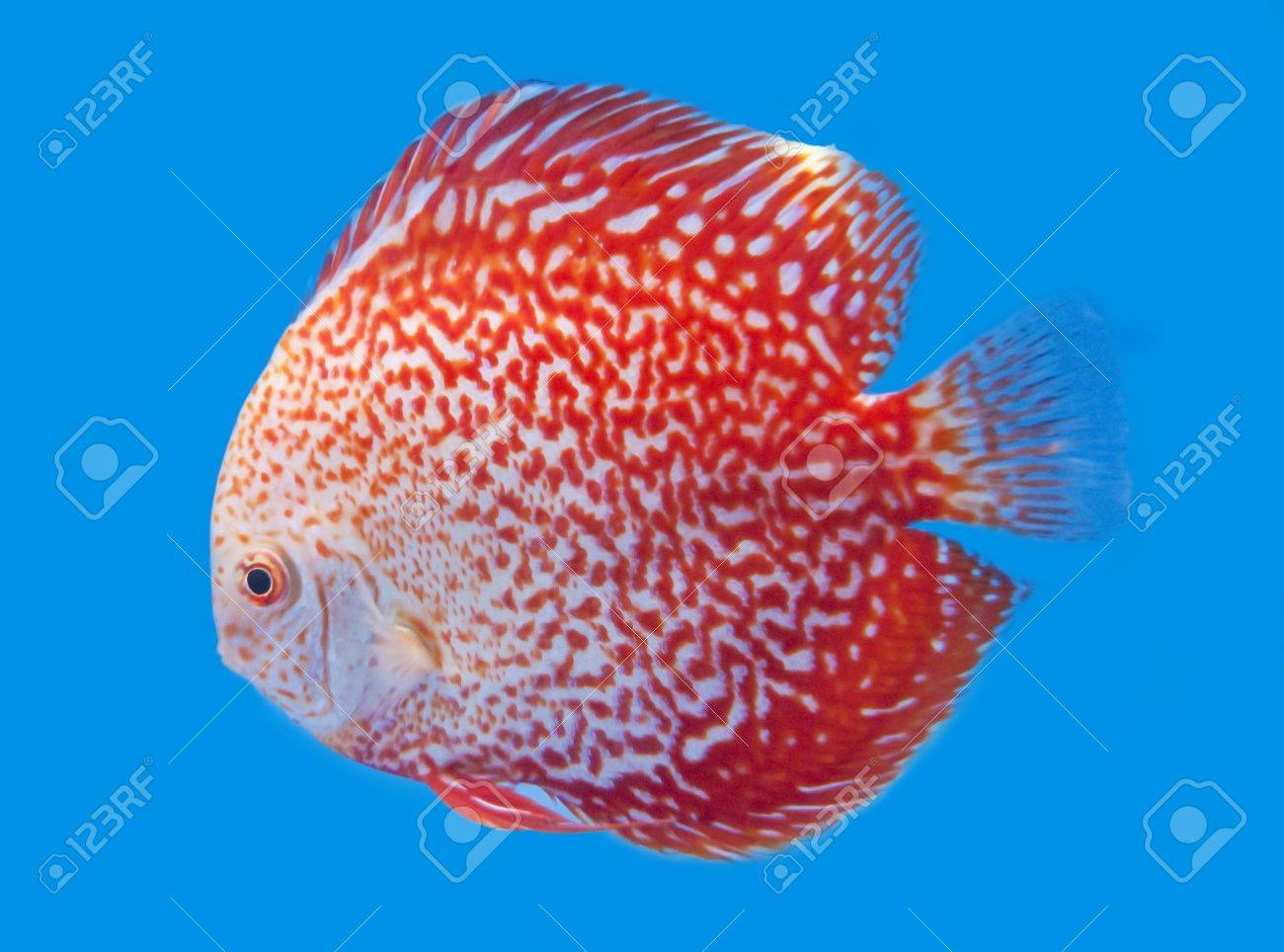 Freshwater fish amazon - Spotted Orange Discus Freshwater Fish Native To The Amazon River In Blue Background Stock
