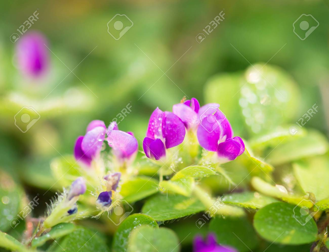 Small Purple Flowers On Grass With Dew Drop In The Morning Stock