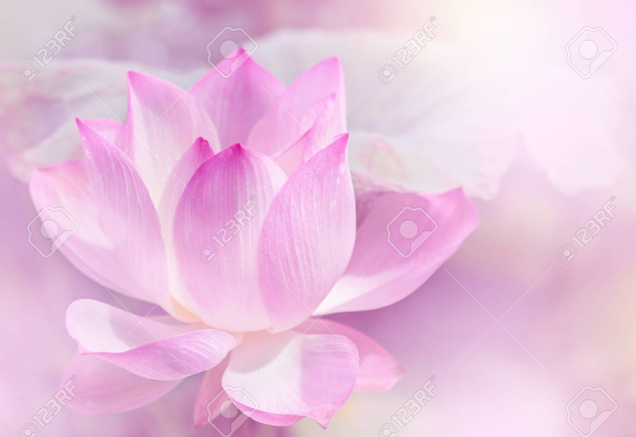 Blooming Lotus Flower Background Stock Photo Picture And Royalty