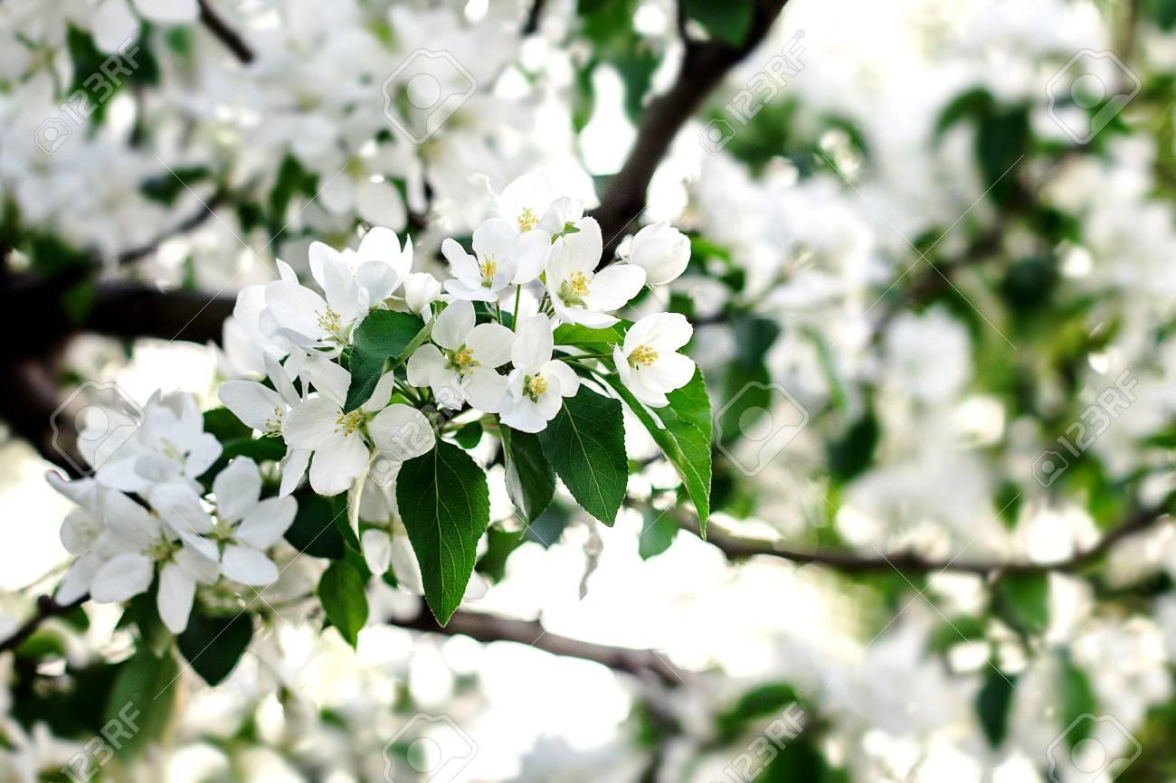 Albero Con Fiori Bianchi brunch sbocciante dell'albero con i fiori bianchi sul fondo di verde del  bokeh. albero in fiore in primavera con fiori bianchi