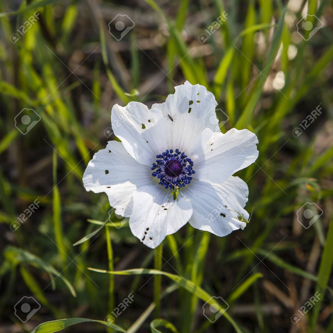 White anemone flower insect damage stock photo picture and royalty stock photo white anemone flower insect damage mightylinksfo