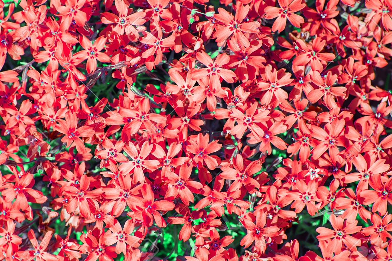Red phlox subulata small flowers bloom in spring and summer red phlox subulata small flowers bloom in spring and summer background of flowers mightylinksfo