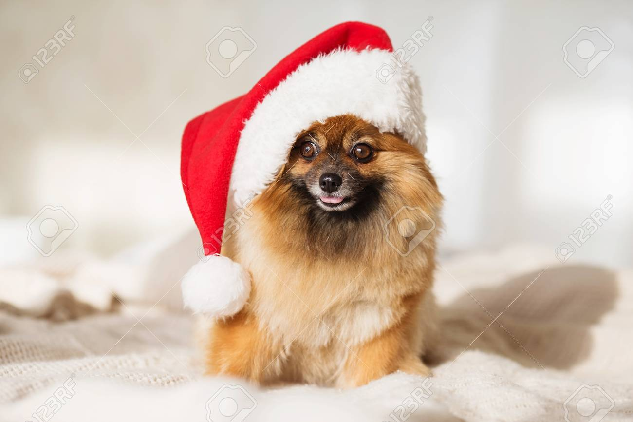 Beautiful Pomeranian Puppy Dog In Red Santa Hat Christmas Dog Stock Photo Picture And Royalty Free Image Image 89997133