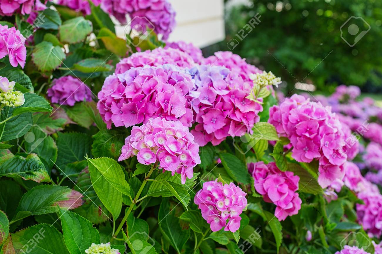 Hydrangea is pink, blue, lilac, violet, purple, white flowers are blooming in spring and summer in town garden. - 93936423