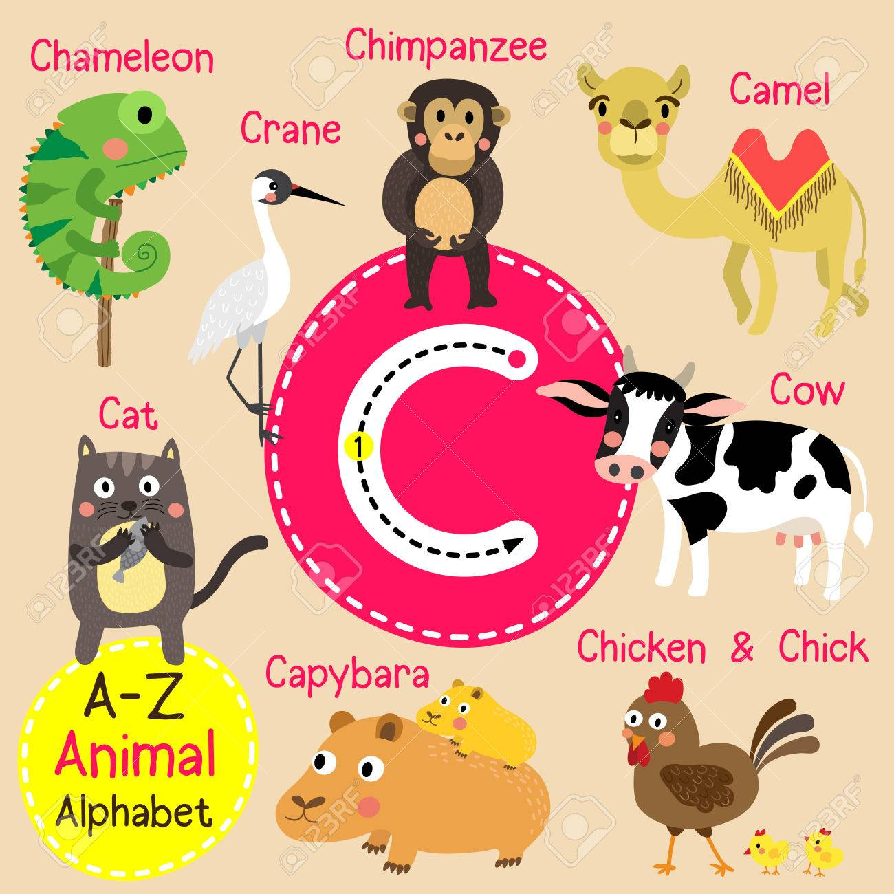 traçage des lettres c. chameau. chat. capybara. caméléon. poulet et