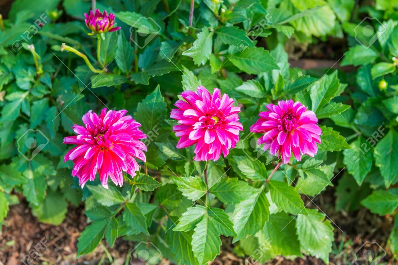 Pink Dahlia Flower Flower Images 2018 Flower Images