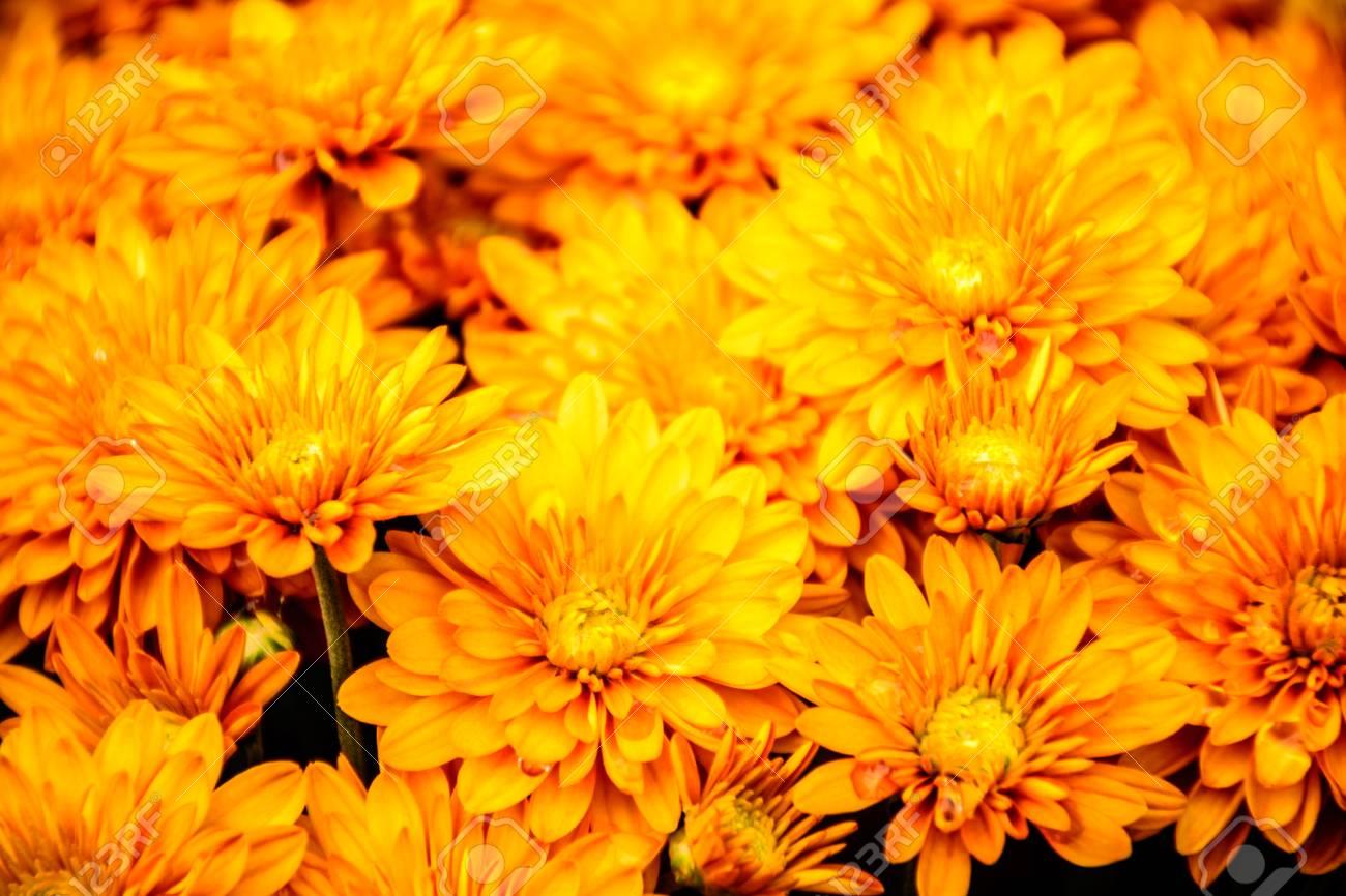 Yellow Chrysanthemum In Autumn Chrysanthemum Is Always The Stock