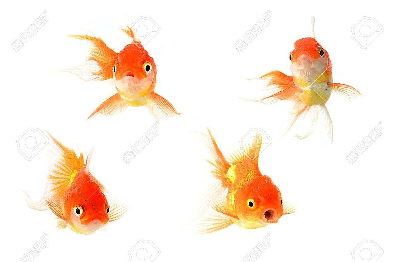 Gold fish. Isolation on the white Stock Photo - 10528688