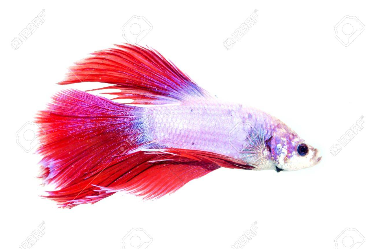 siamese fighting fish isolated on white background Stock Photo - 13076999