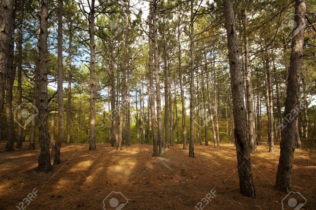 Pine forest at Crimea mountains on Tsarskaya tropa  King Stock Photo - 15996141
