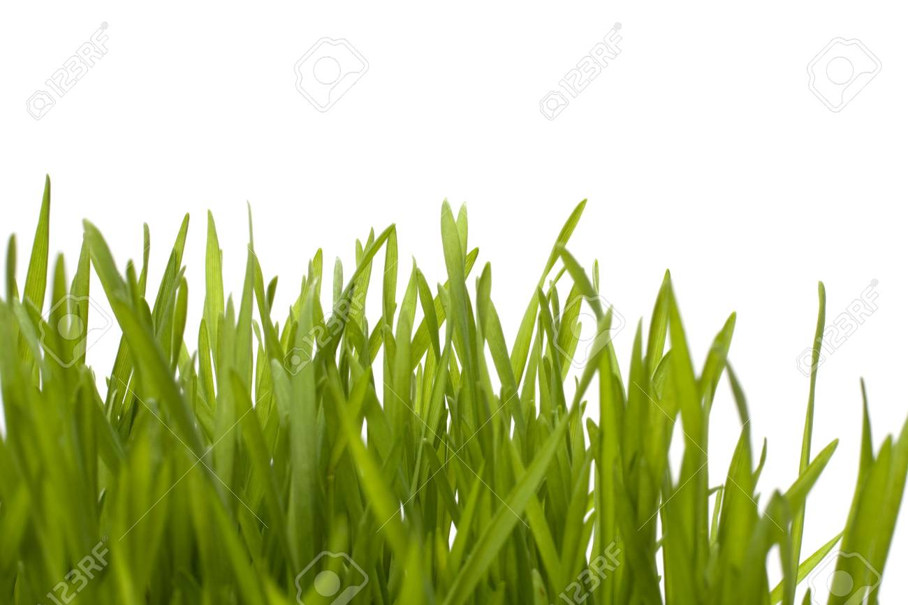 grass isolated on white background Stock Photo - 6491709