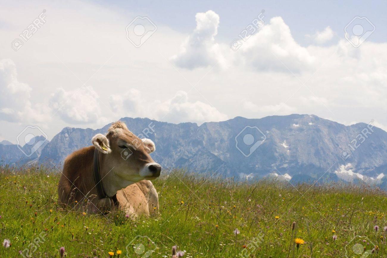 grazing cow Stock Photo - 8285690