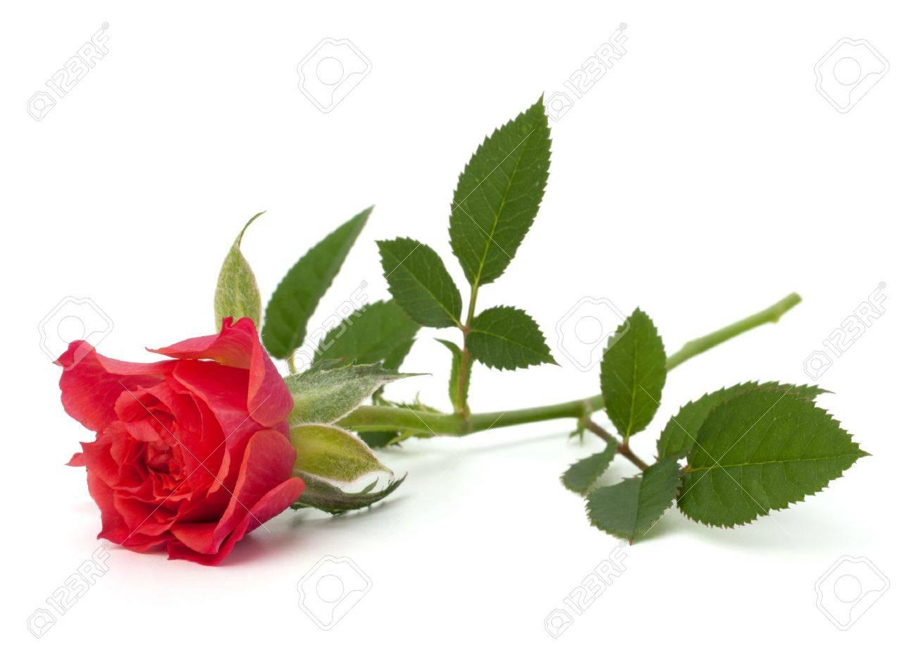 Beautiful rose   isolated on white background Stock Photo - 10161238