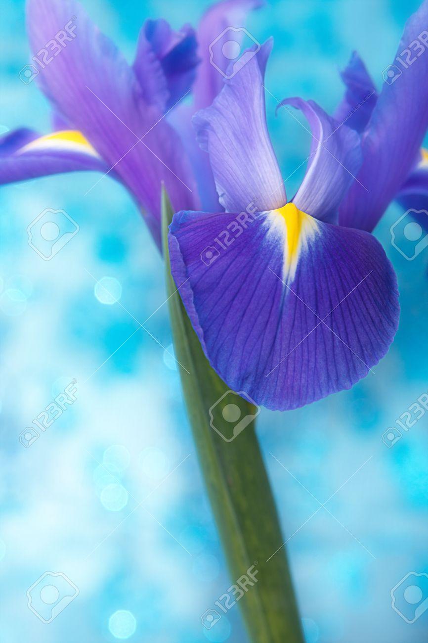 Beautiful blue iris flowers background Stock Photo - 15730081