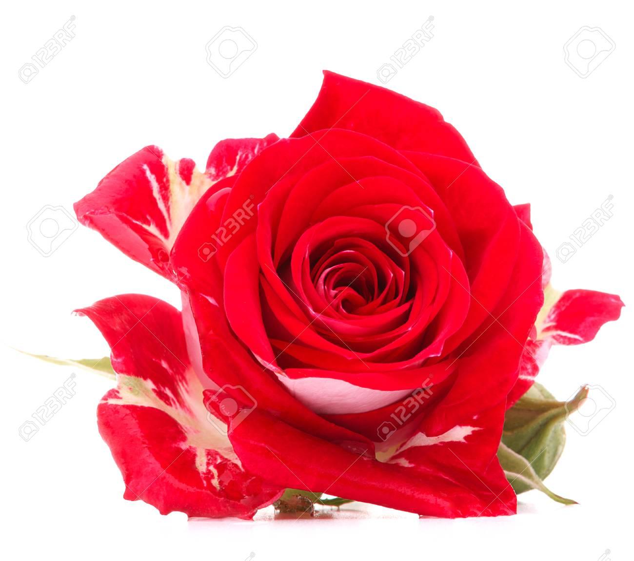 Tete De Fleur Rose Rouge Isole Sur Fond Blanc Banque D Images Et