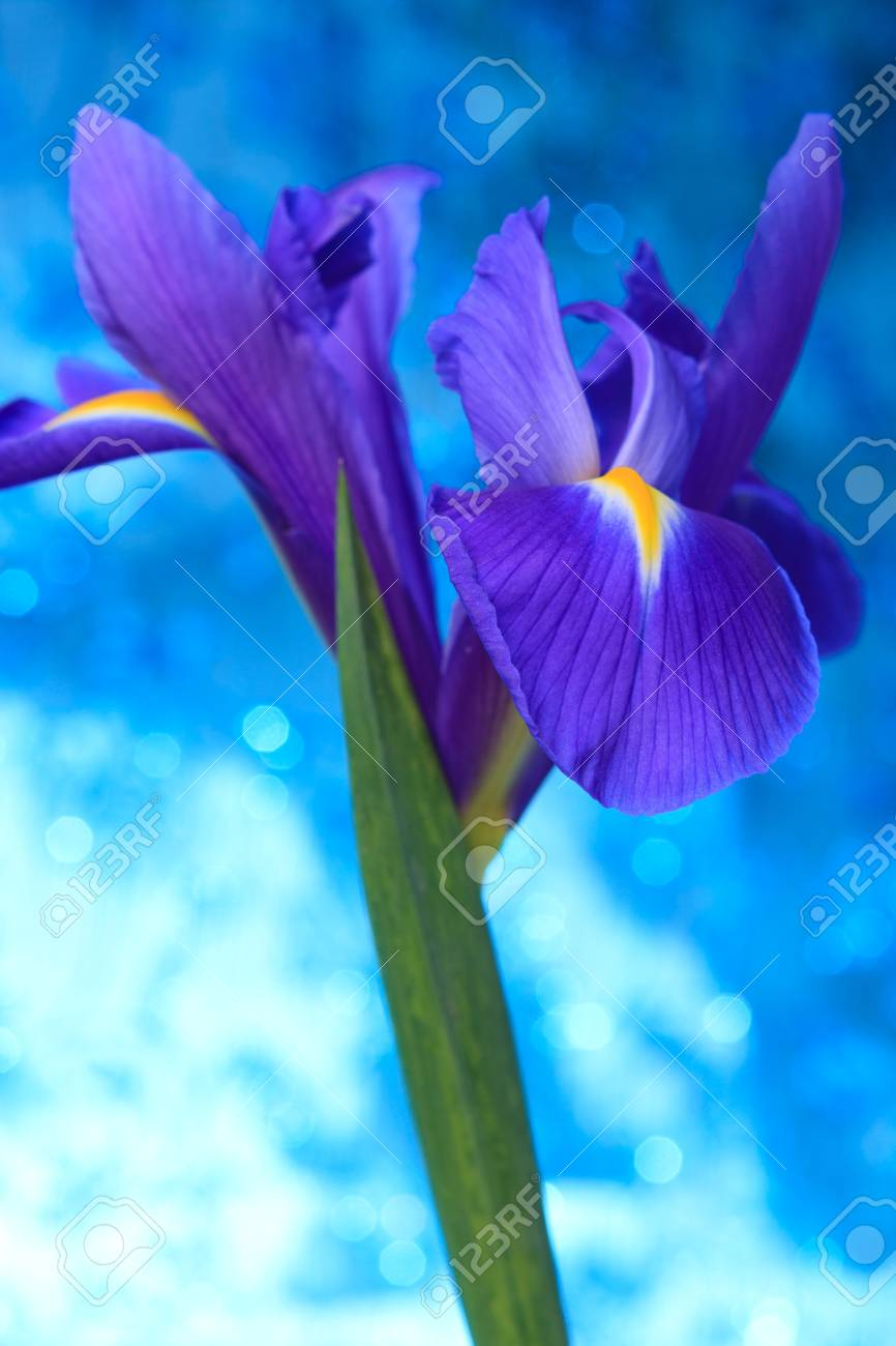 Beautiful Blue Iris Flowers Background Stock Photo Picture And