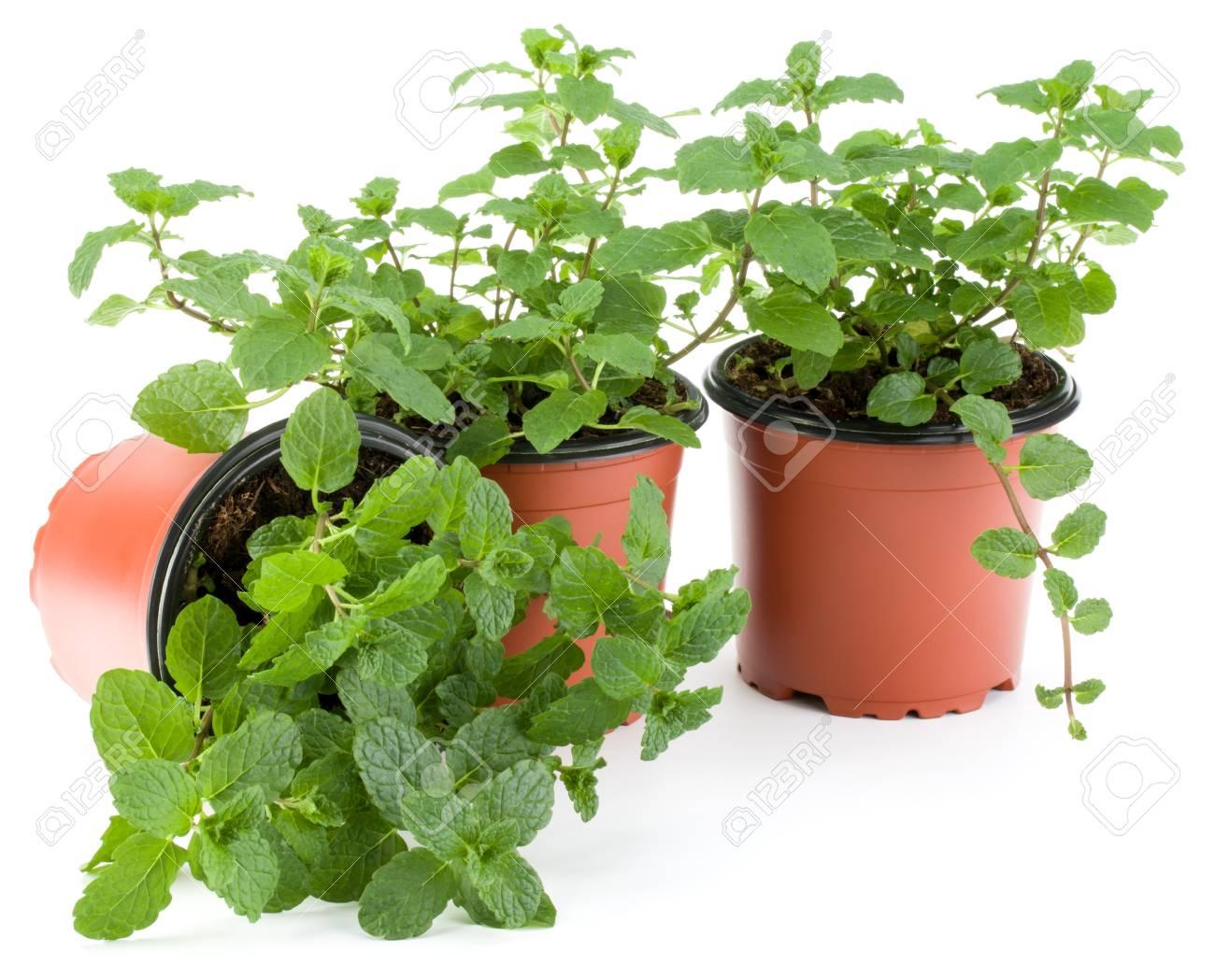 Plant De Menthe En Pot herbe de menthe poivrée qui pousse dans le pot de fleurs isolé sur la  découpe de fond blanc. feuilles de menthe. concept de jardinage.