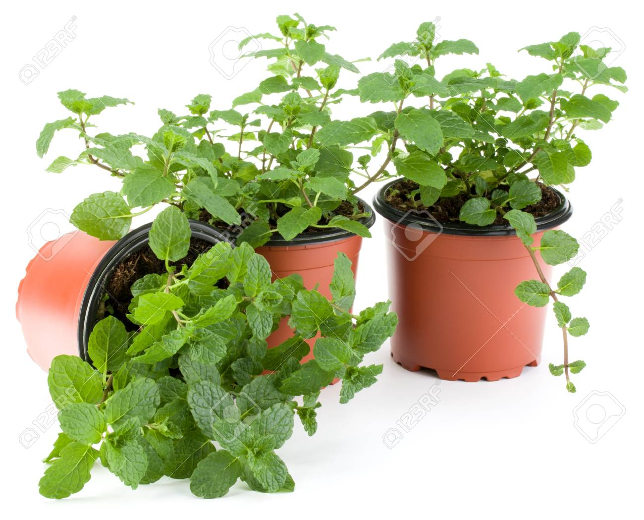 Planter Menthe En Pot peppermint herb growing in flowerpot isolated on white background..