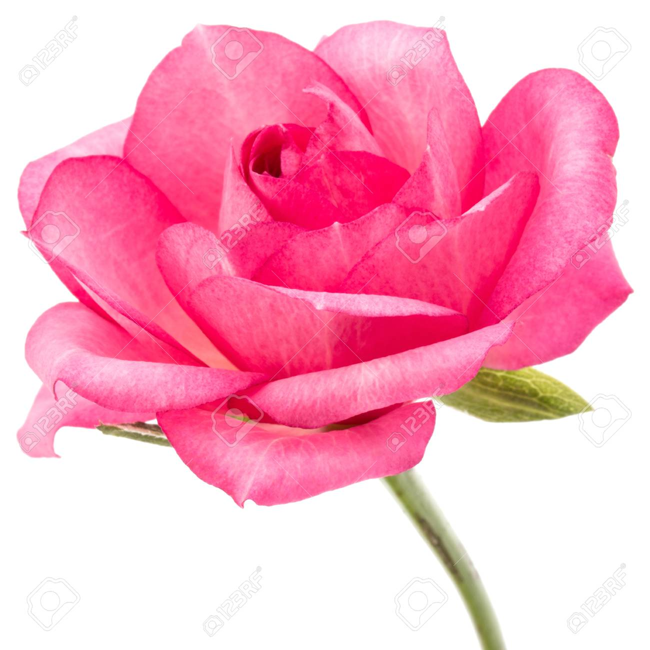 One pink rose flower isolated on white background cutout stock photo one pink rose flower isolated on white background cutout stock photo 87608982 mightylinksfo