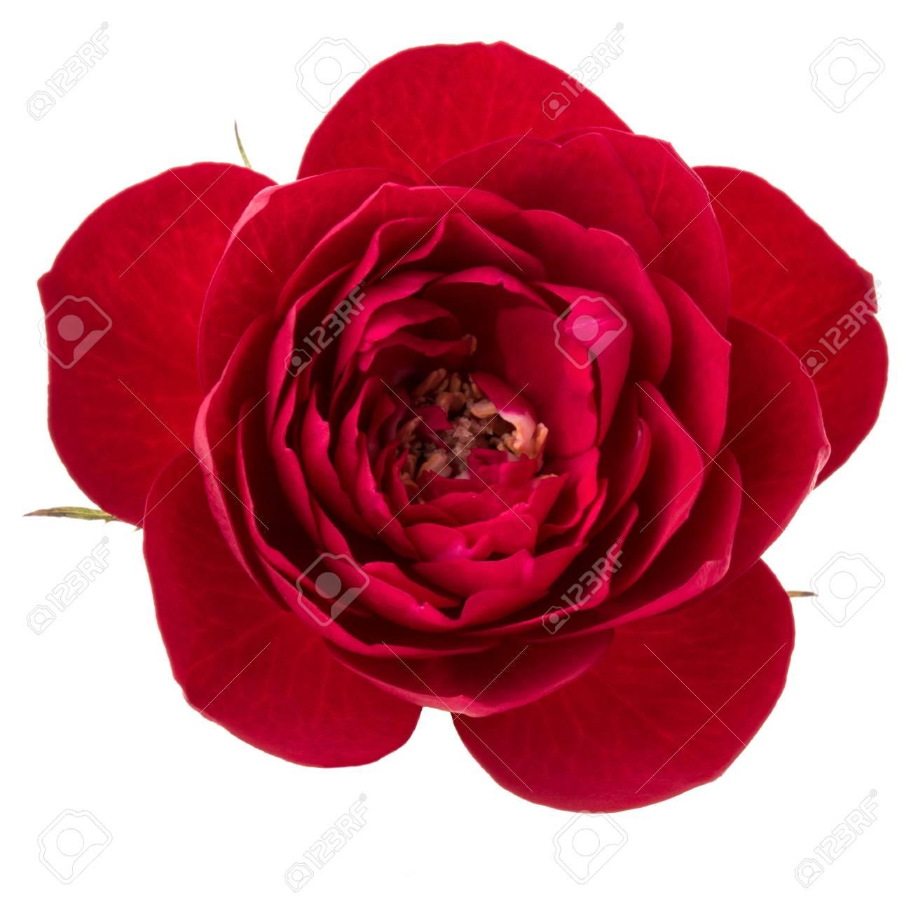 Une Tete De Fleur Rose Rouge Isolee Sur La Decoupe De Fond Blanc