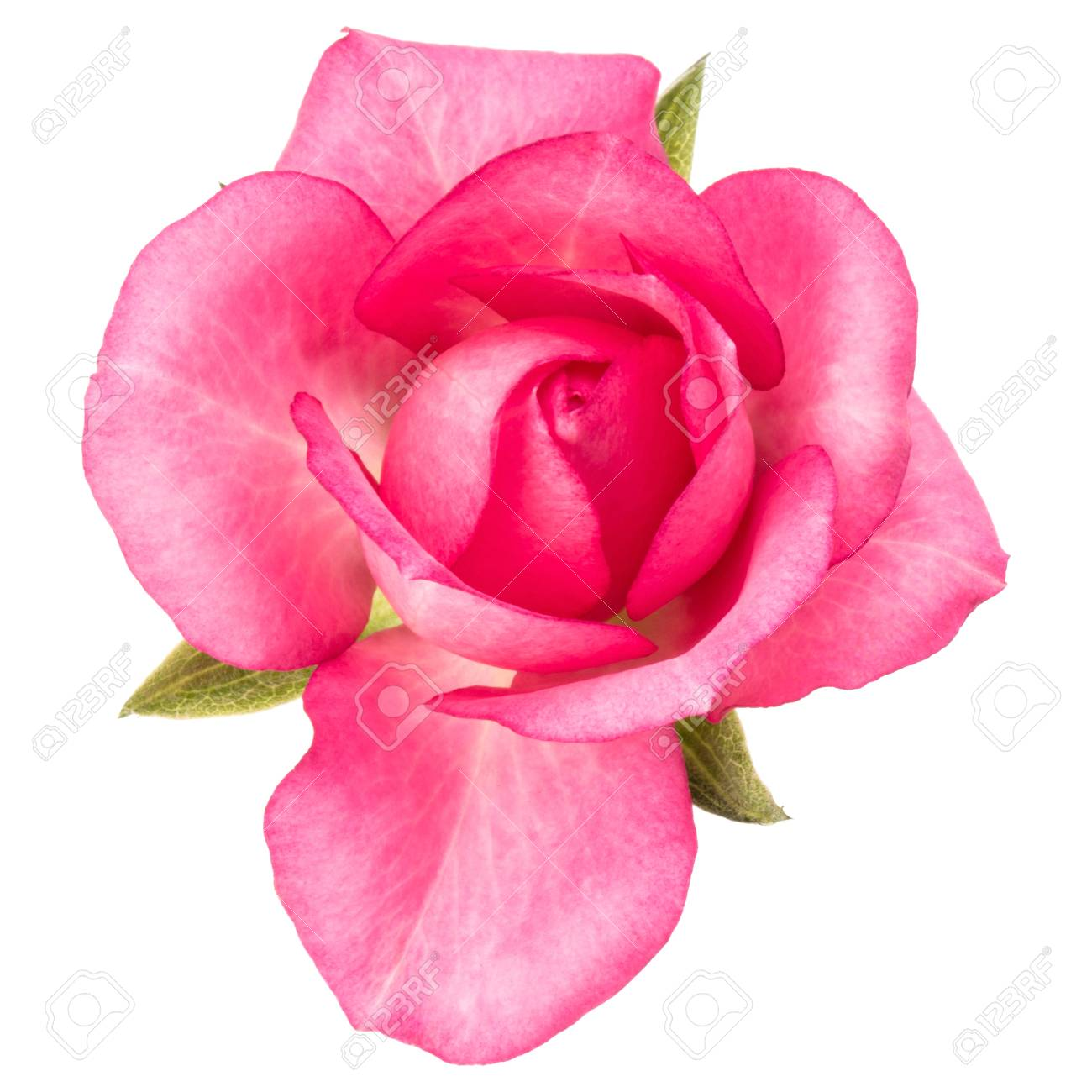 One pink rose flower isolated on white background stock photo one pink rose flower isolated on white background stock photo 88433994 mightylinksfo