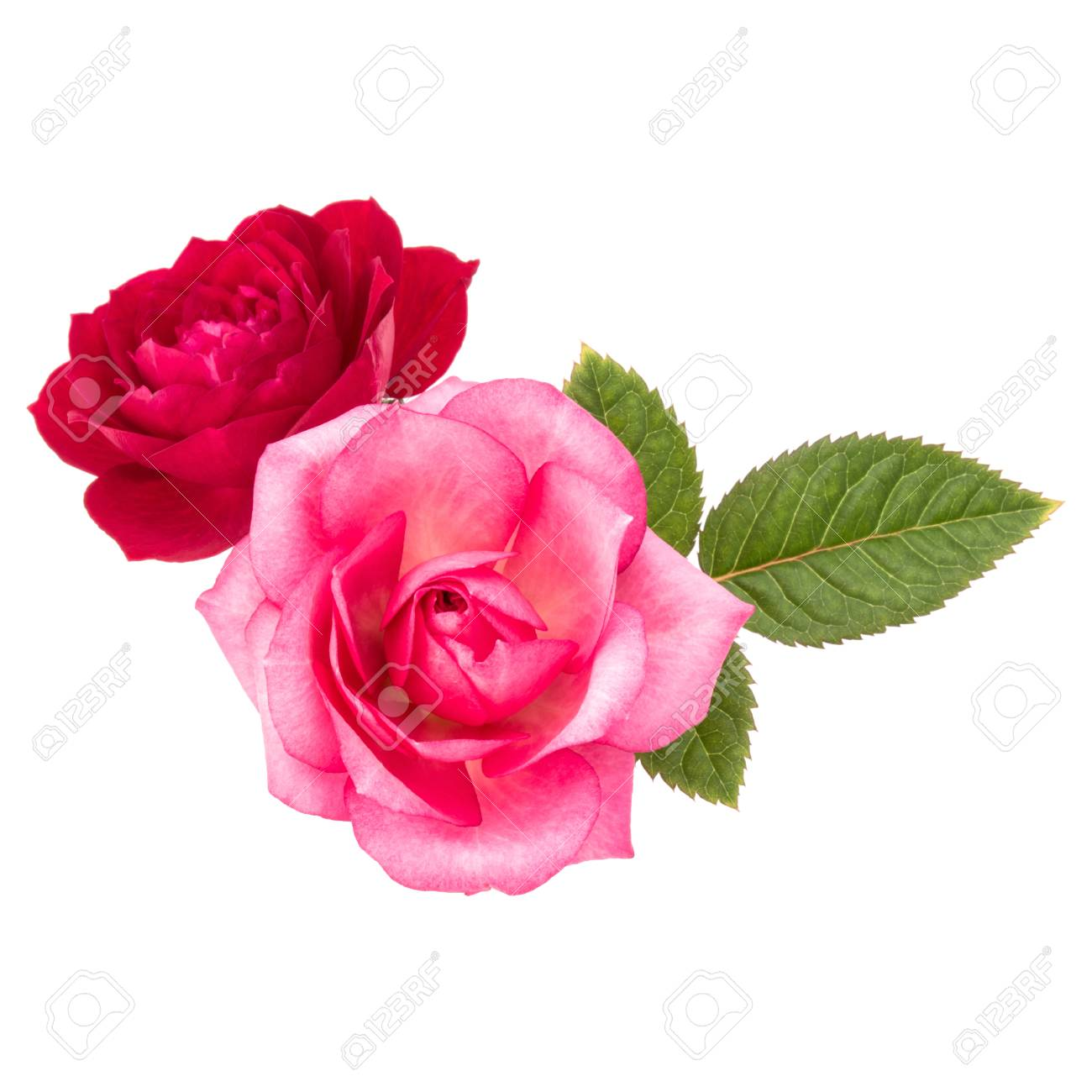 Two Red And Pink Rose Flowers Isolated With Leaves On White Stock