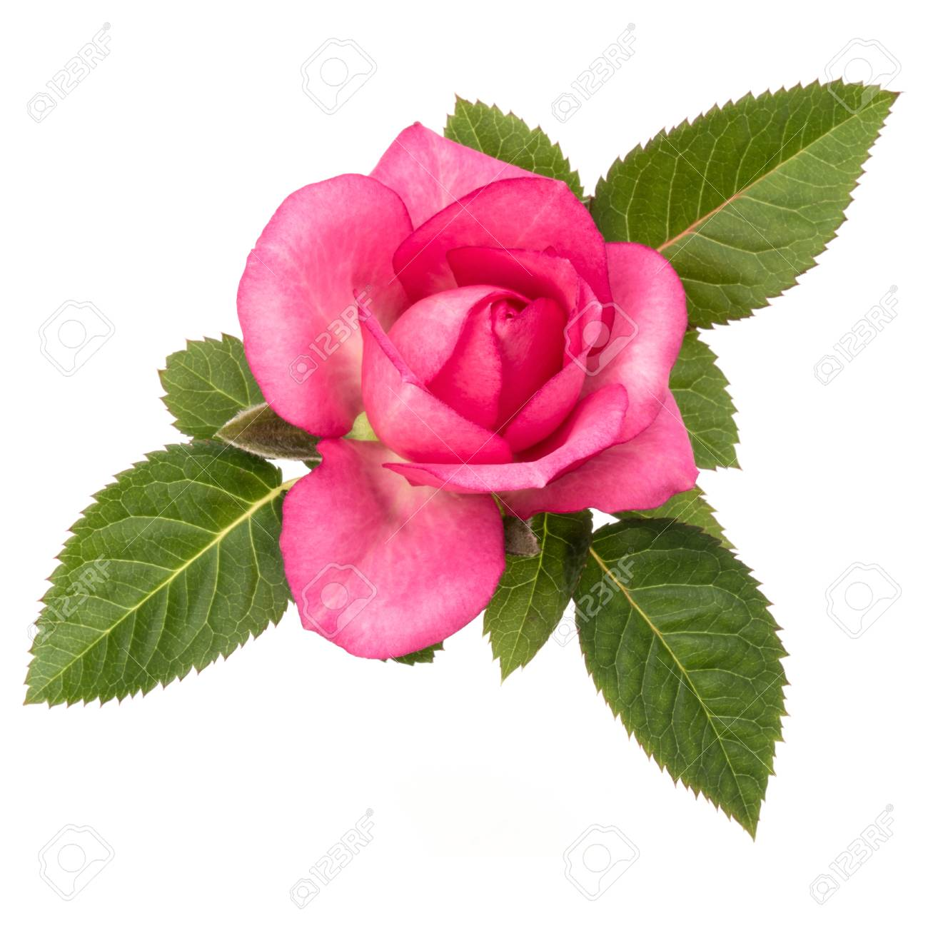 One pink rose flower with leaves isolated on white background one pink rose flower with leaves isolated on white background cutout stock photo 88649105 mightylinksfo
