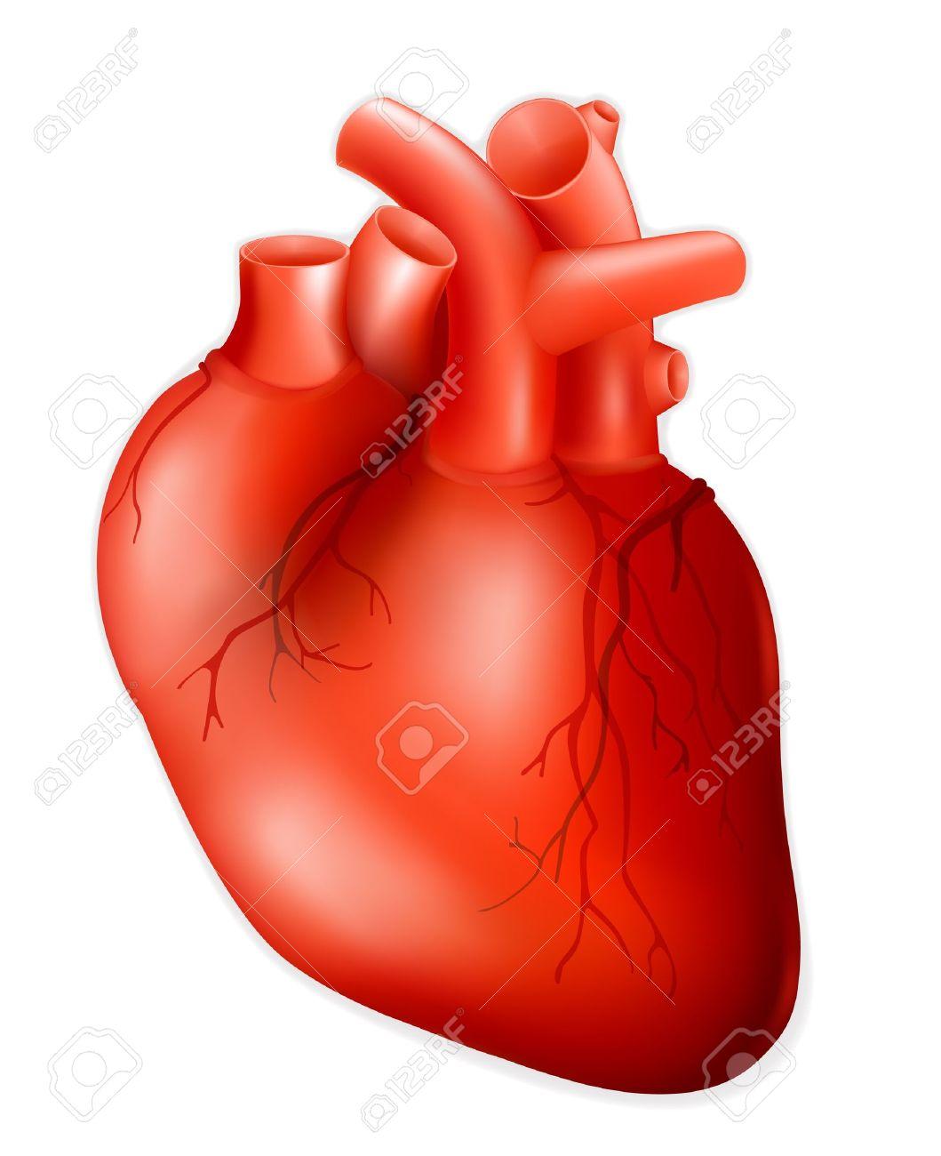 El Corazón Humano Ilustraciones Vectoriales Clip Art Vectorizado