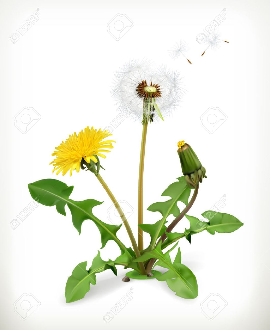 Dandelion, summer flowers, vector illustration isolated on white background Stock Vector - 40014667