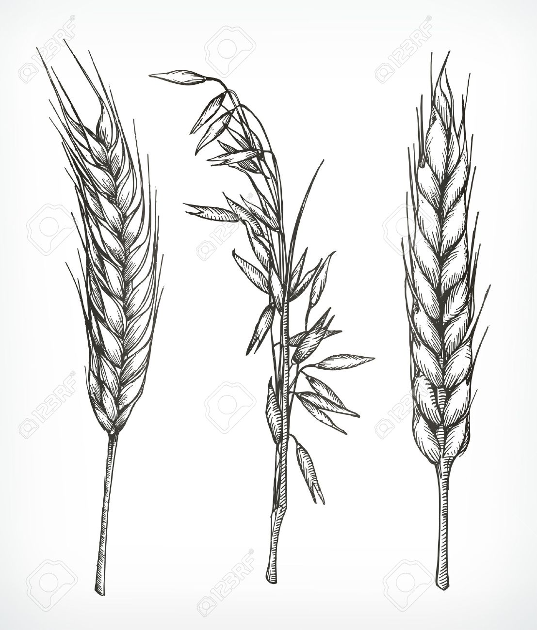 Crops Wheat And Oat Sketches Hand Drawing Vector Set Royalty Free