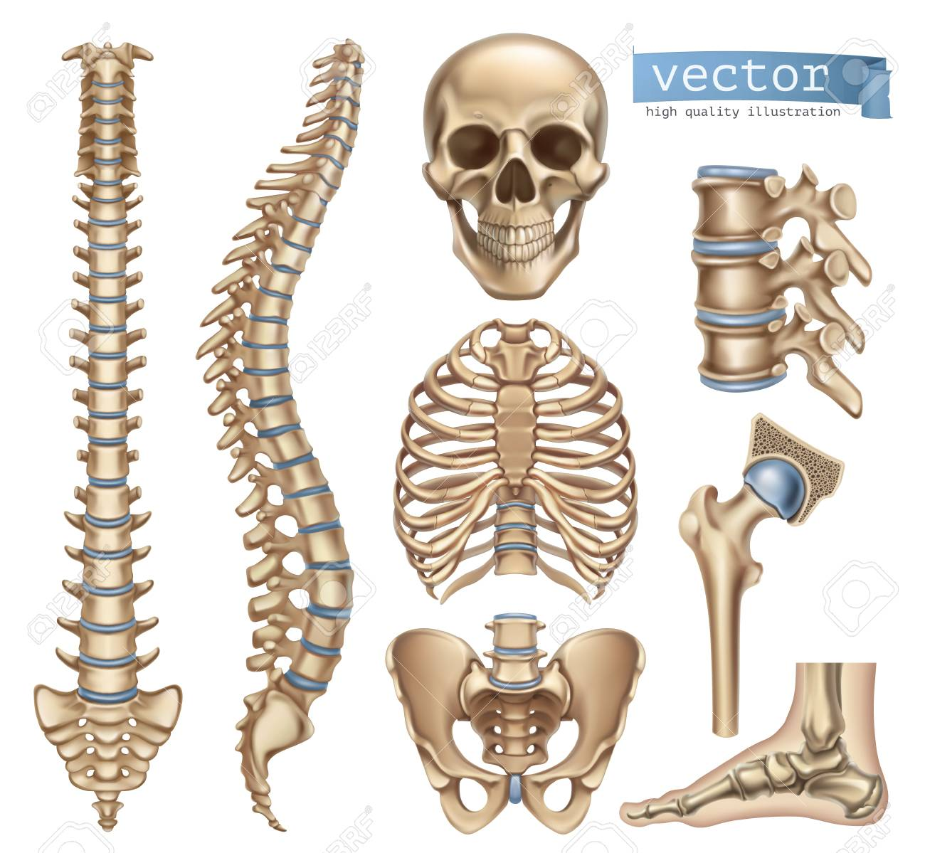Human Skeleton Structure Skull Spine Rib Cage Pelvis Joints