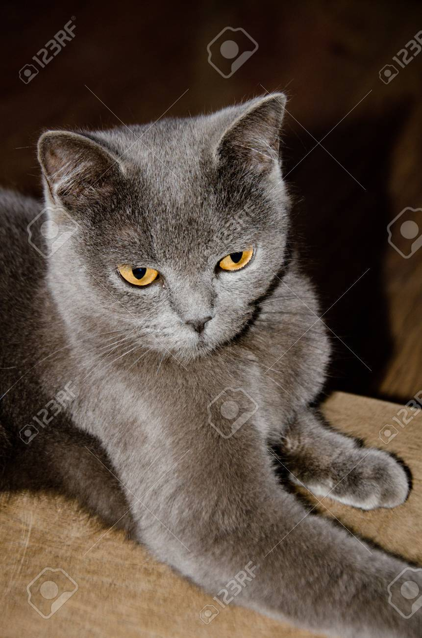 672ea75d77d5cf Gray Cat With Yellow Eyes Lies Selective Focus Stock Photo, Picture ...