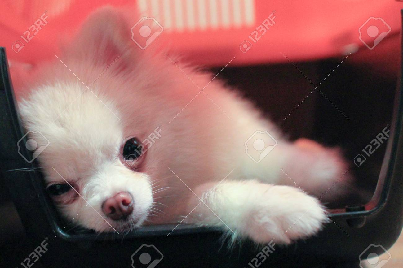 Pomeranian Dog Smiling And Lying Down In The Crate Stock Photo