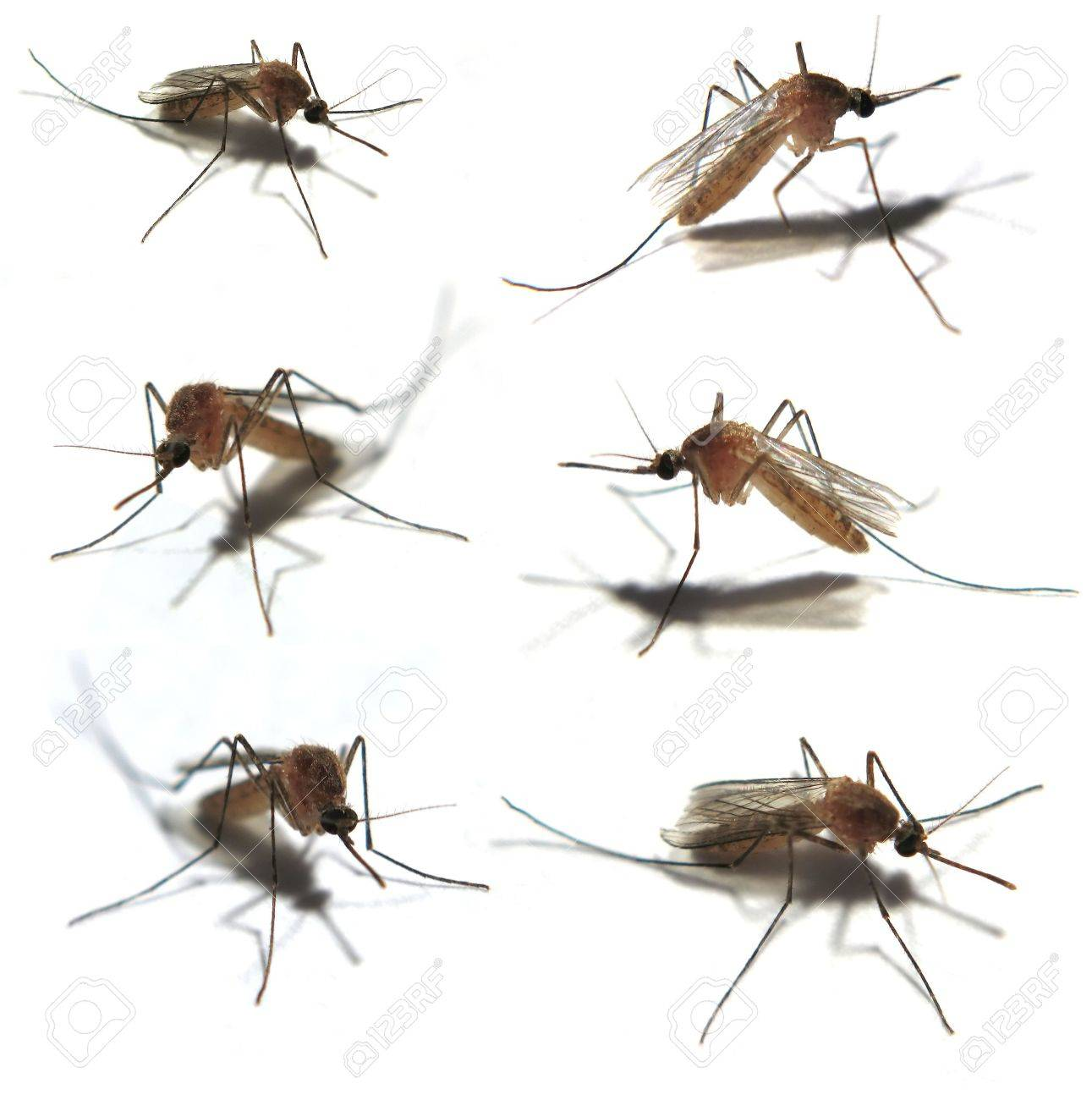 Six Isolated mosquitoes taken with a very close Macro lens Stock Photo - 7853623