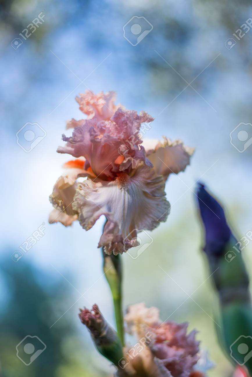 Pink Iris Flower On Clear Sky Background Stock Photo Picture And