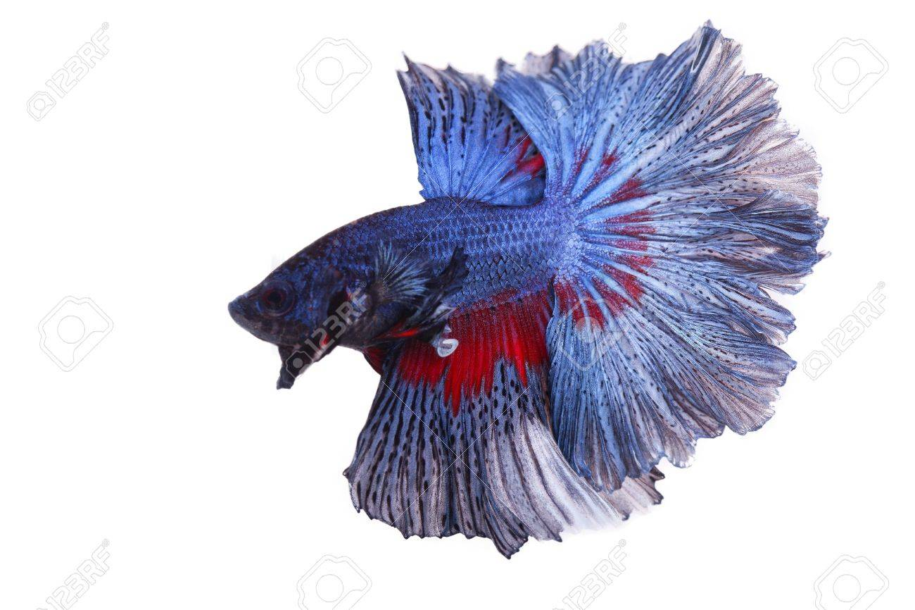 betta on a white background. Stock Photo - 19918756