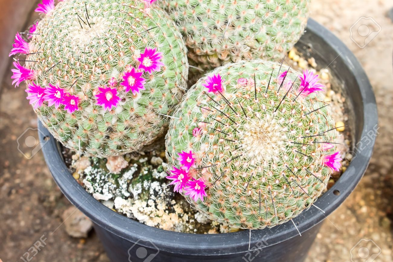cactus usine de pot de fleurs rose fleur de cactus petit cactus