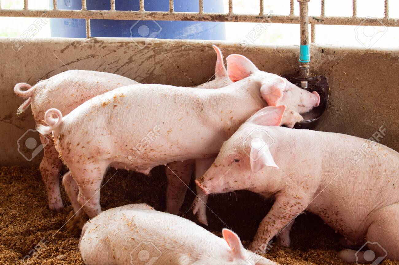 The pig is drinking water from an automatic water dispenser. Organic pig farm using matting rice husk. Rural livestock, agriculture - 130657397