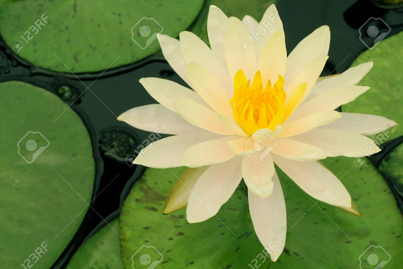 White Yellow Lotus Flower And Lotus Flower Plants Water Stock Photo