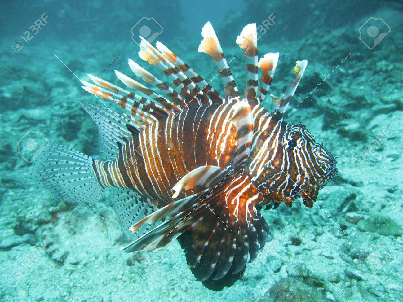 Lion fish in south simailan thailand Stock Photo - 9957848