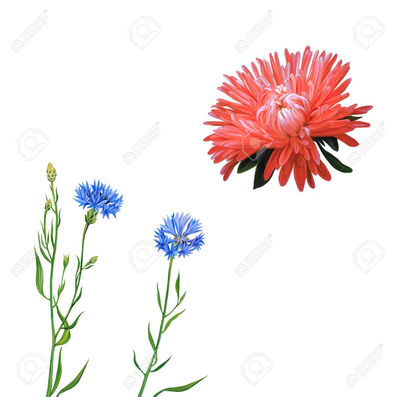 Aster Pink Flower Spring Flower Knapweed Flower On White
