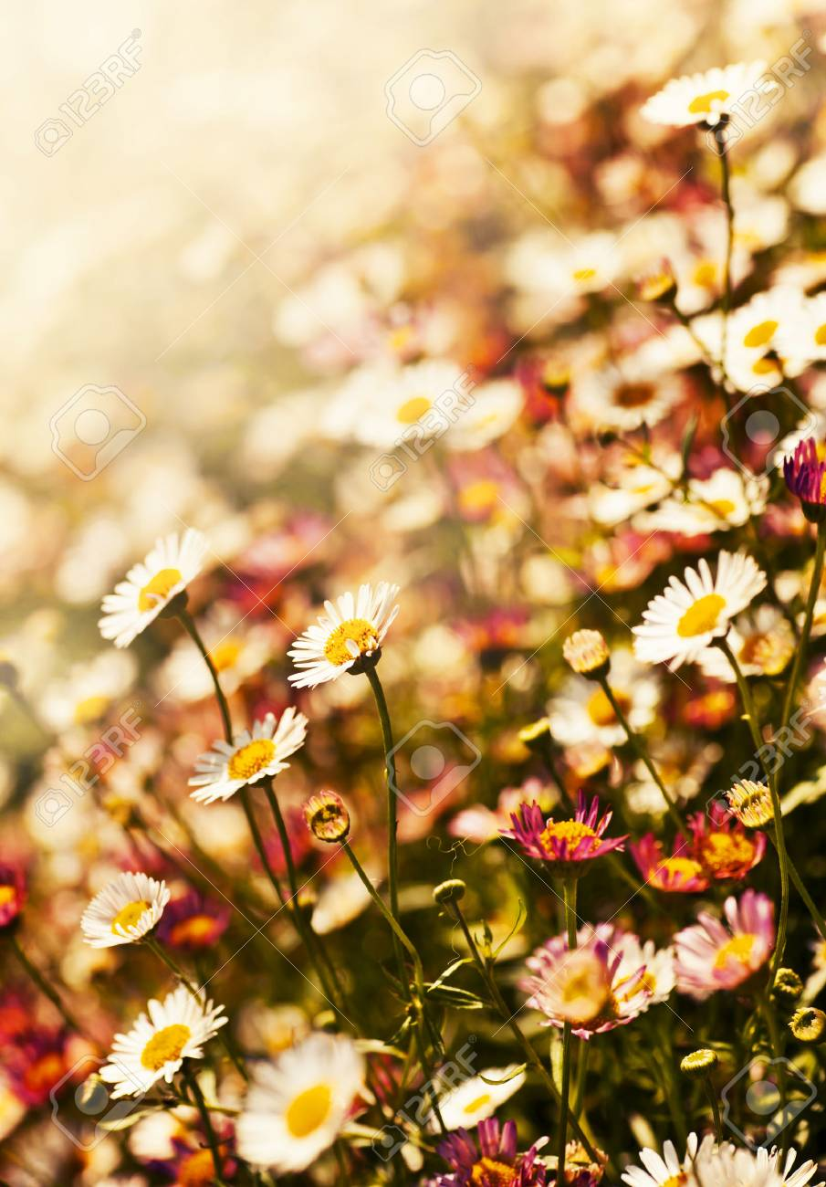 Field Of White Flowers Chamomile Spring Background With Sunshine