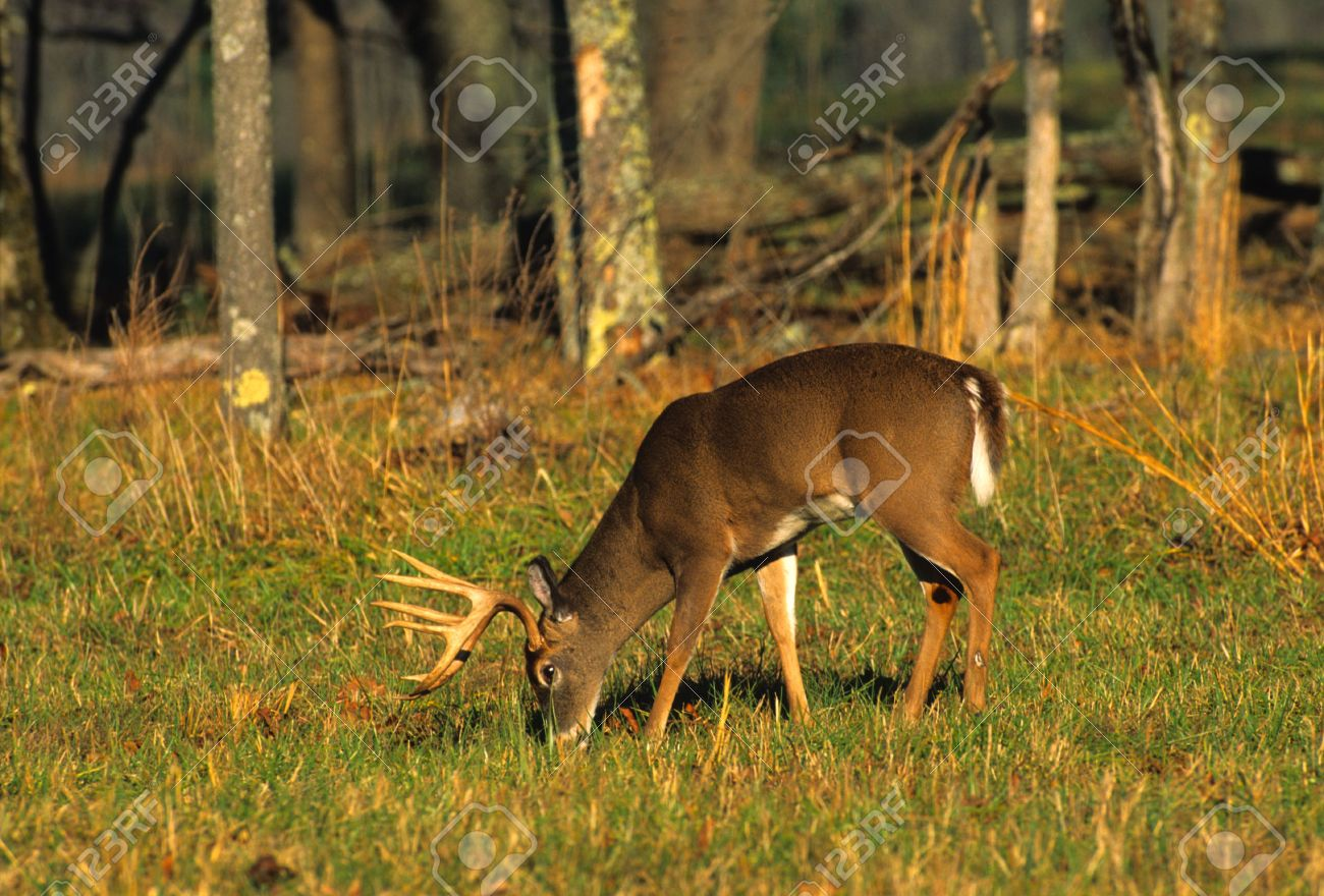 Big Whitetail Buck Feeding Stock Photo - 6111194