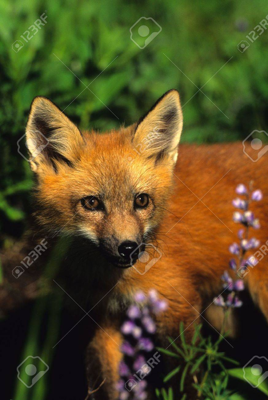 Red Fox Pup in Wildflowers Stock Photo - 6121422