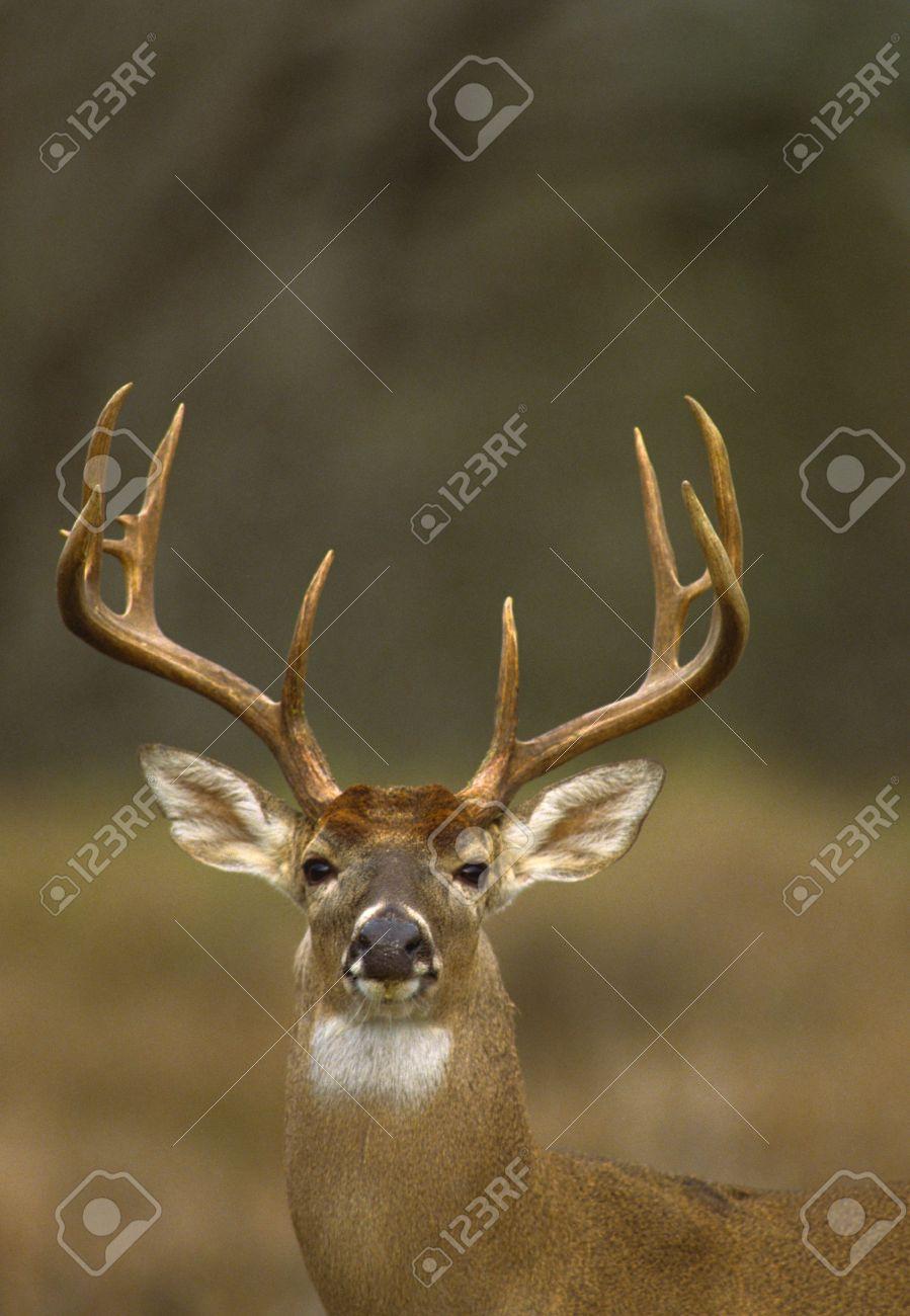 Whitetail Buck Portrait Stock Photo - 7418717