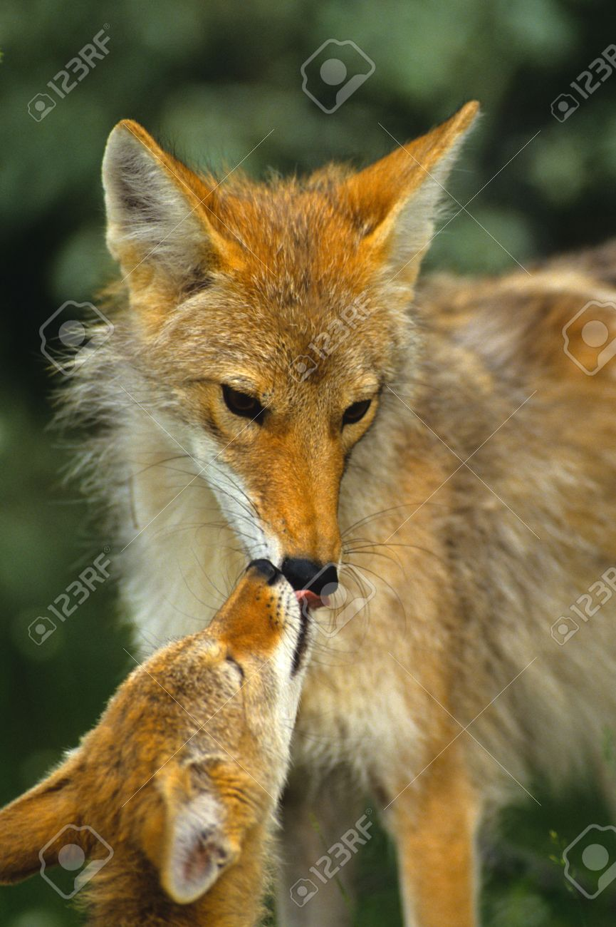 Female Coyote with Pup - 7458696