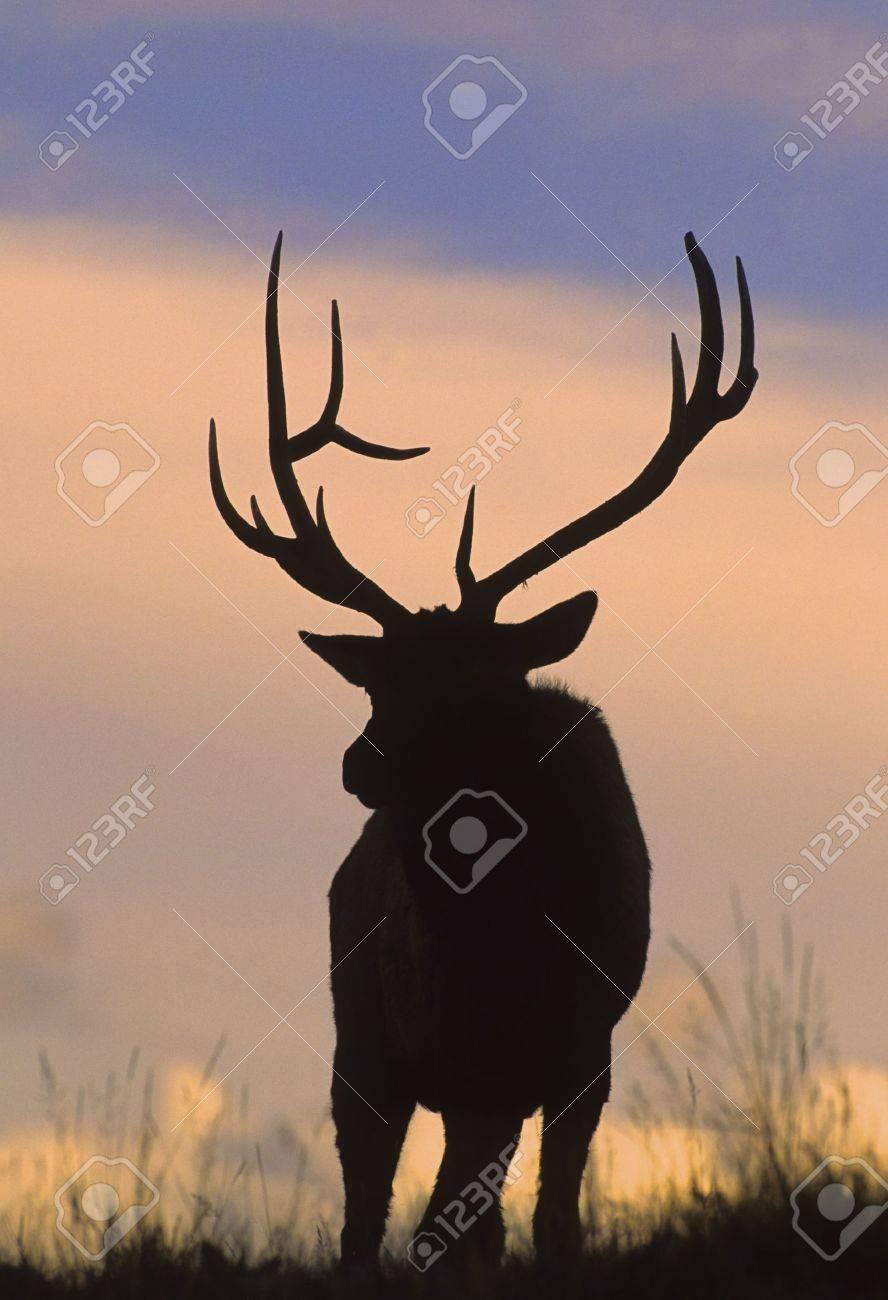 Bull Elk Silhouette - 8418470