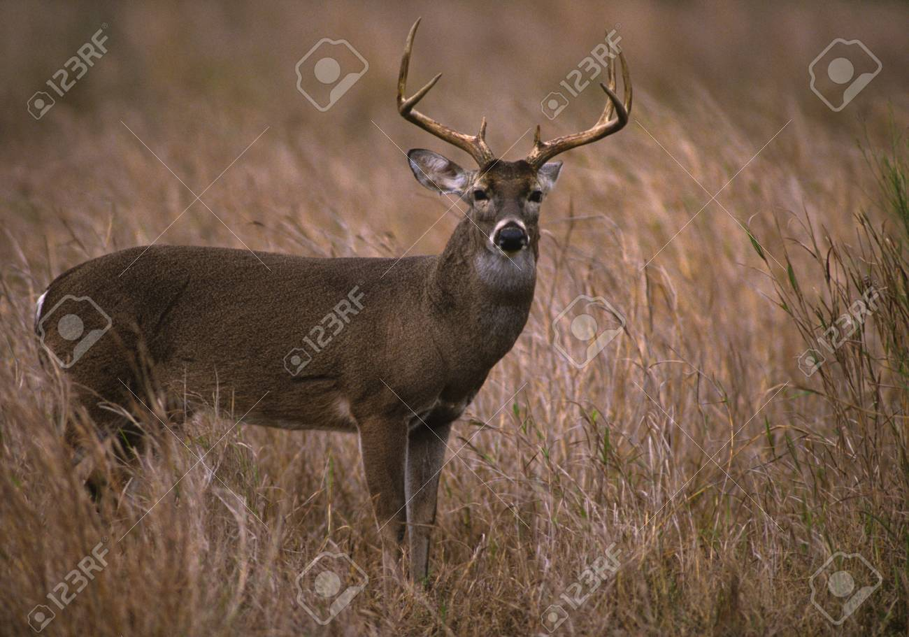 Whitetail Buck Stock Photo - 8883618